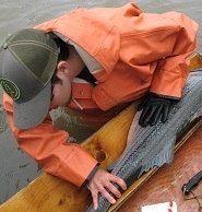 A man checks the length of a striped bass fish on a wooden table on a boat.