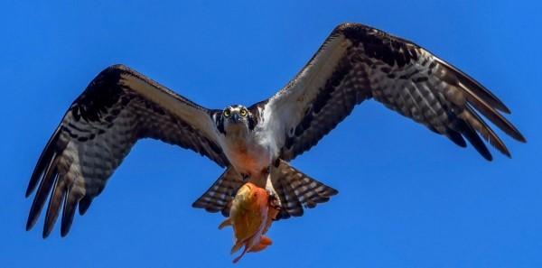 Osprey with goldfish courtesy of Jim Yates