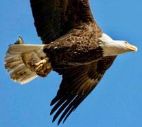 Bald eagle with goldfish