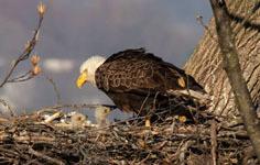 Two bald eagle nestlings