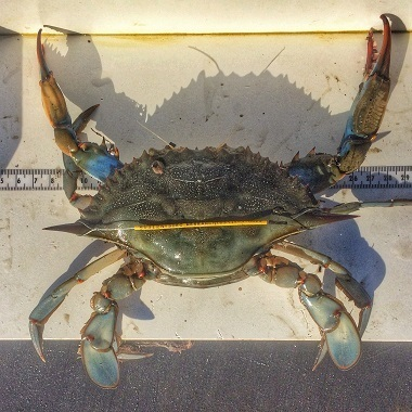 Blue crab with yellow wire carapace tag