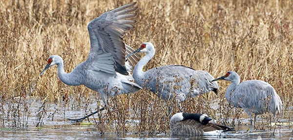 Sandhill cranes courtesy of Terry Hardy