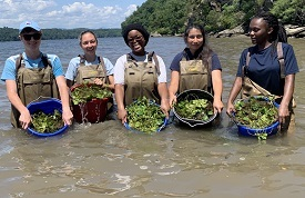 Four young women in waders stand in a cove holding baskets of green plants known as water chestnut.