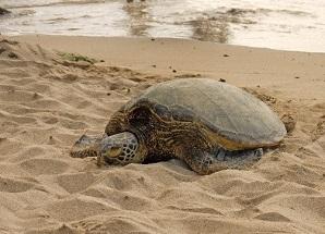 cold-stunned sea turtle on beach