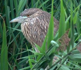 A young heron nestles in a marsh.