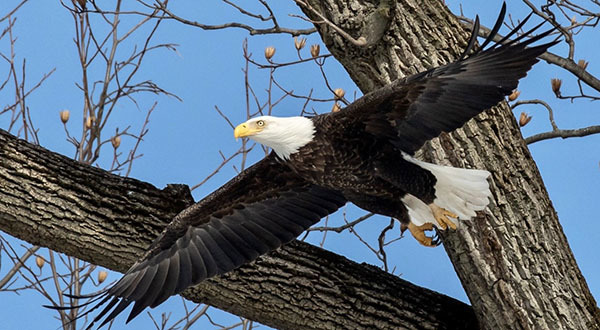 Bald eagle courtesy of Bob Rightmyer