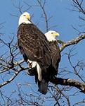 Bald eagles (NY372)