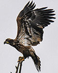 IMM banded Bald Eagle