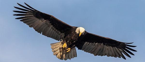 Bald eagle with sticks courtesy of Bob Rightmyer