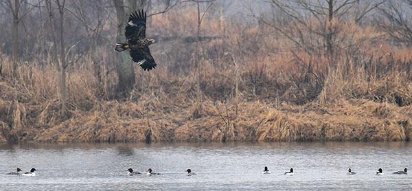 Eagle flying over raft of ducks courtesy of Deborah Tracy Kral