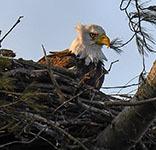 NY487 Bald Eagle