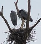 Great blue heron nest