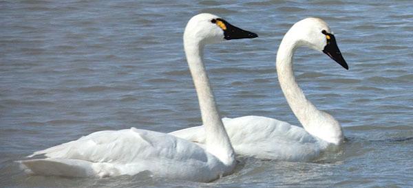 Tundra swans courtesy of Benjamin Zack (see 3/12)
