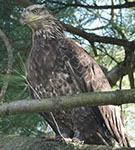 Bald Eagle (banded)