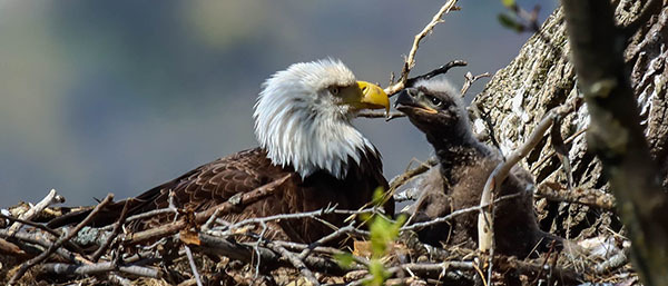 Bald Eagle nest NY 62 with nestling courtesy of Dominick Santore