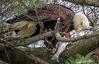 Bald Eagle NY372