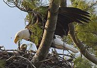 Bald eagle NY487