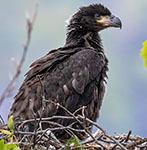 Bald eagle NY62