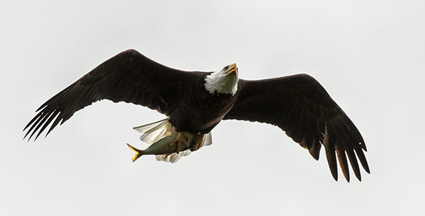 Bald Eagle NY62 courtesy of Bob Rightmyer