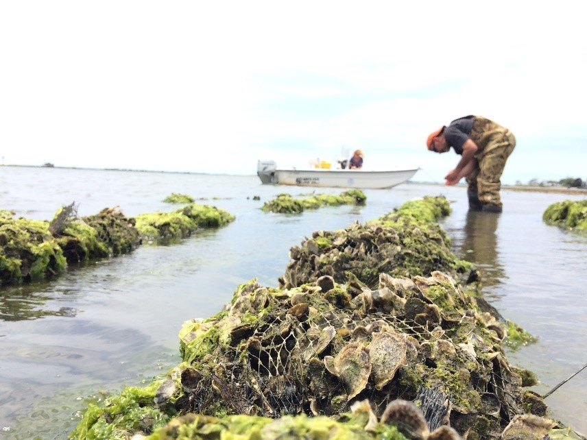 Oyster Restoration Effort
