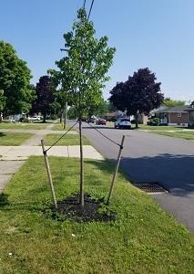 A street tree in Cheektowaga, NY