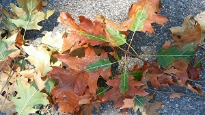 Red oak leaves exhibiting symptoms of oak wilt - browning from the outer edge back towards the stem