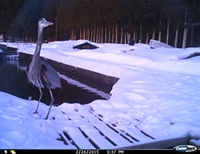 great blue heron on trail cam