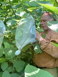A man with a bag in a patch of knotweed