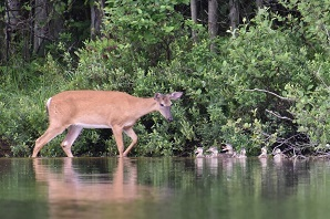 White tailed deer walking along the edge of the water and forest