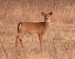 A deer in the grass