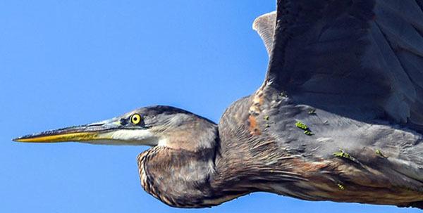 Great Blue Heron photo courtesy of Deborah Tracy Kral