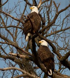 Two adult eagles are on different branches on a tree without leaves.