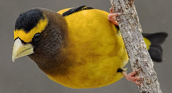 Evening Grosbeak courtesy of Deborah Allen