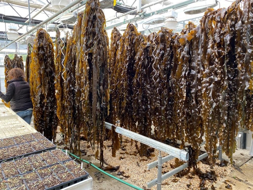 Sugar kelp drying on lines in greenhouse