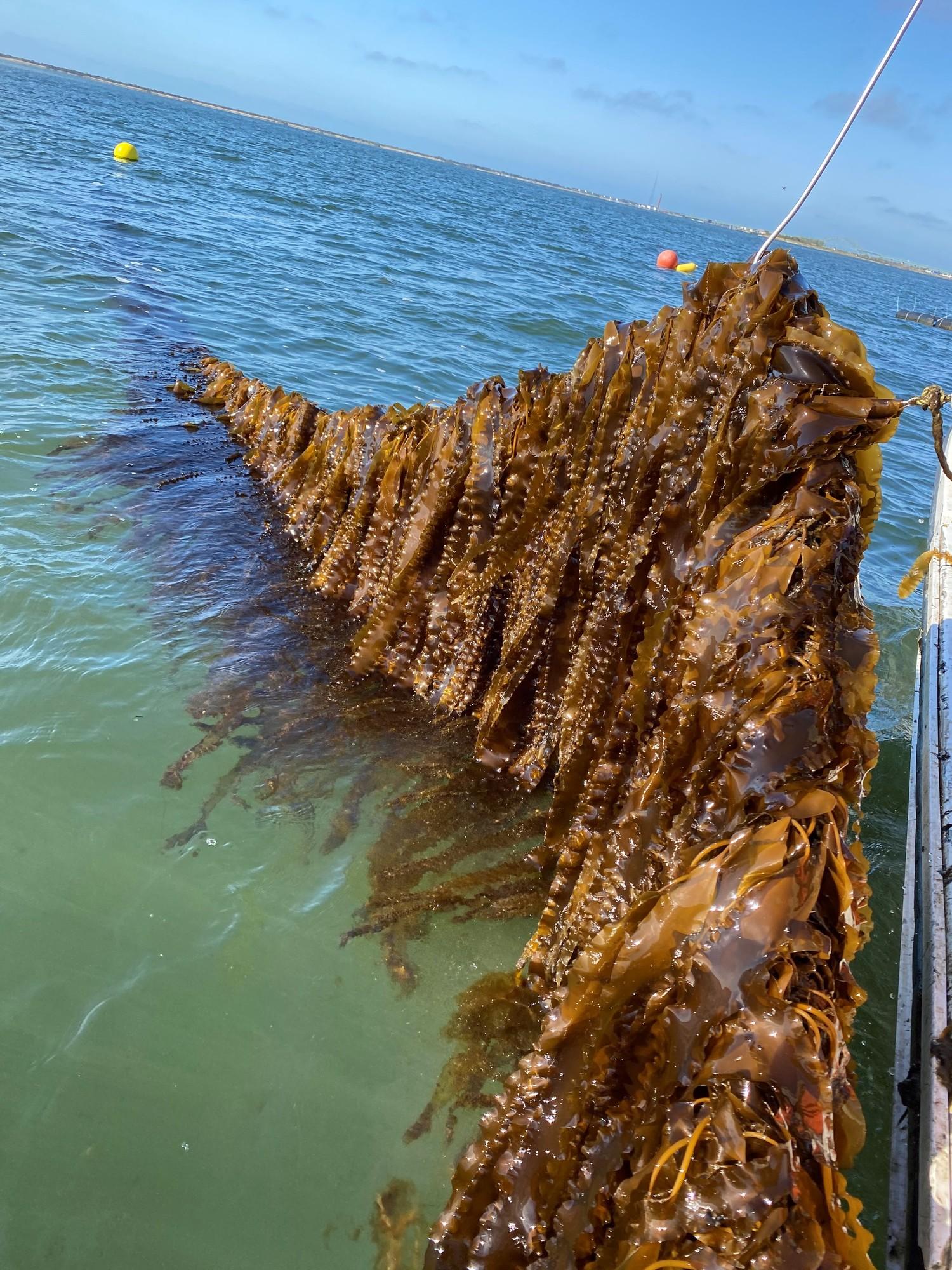 Sugar kelp on line in water