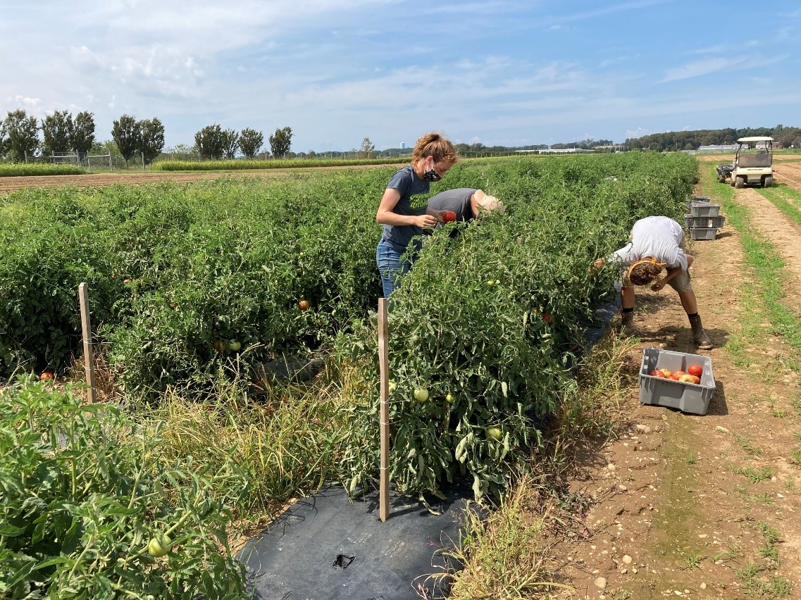 Harvesting tomatoes grown with sugar kelp fertilizer