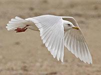 Iceland gull (Kumliens)