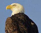 Bald eagle (NY372)