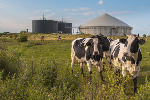 Biogas digester and cows