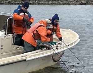 Crew on a boat lifting shortnose sturgeon out of the water
