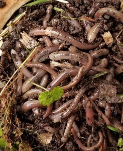 a pile of jumping worms found in a garden
