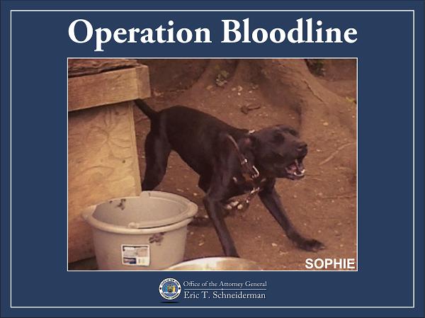 Sophie, a black pit bull terrier, barks aggressively.