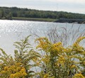 Goldenrod by the reservoir