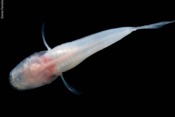 Ozark Cavefish