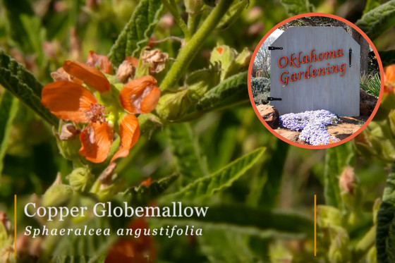 Globemallow on Oklahoma Gardening