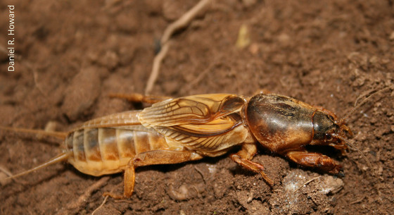 Prairie Mole Cricket