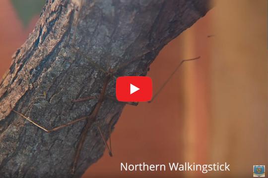 Native Walkingstick