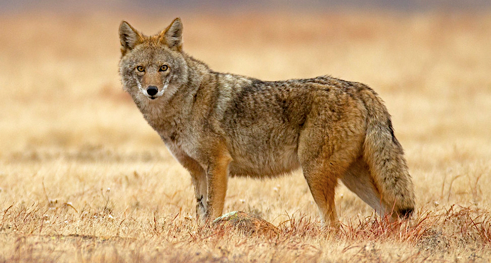 coyote by david strozdas 2019 RPS