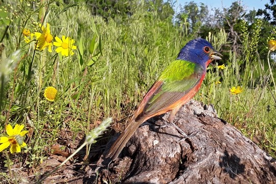 Painted Bunting_Fred Dissinger RPS 2020