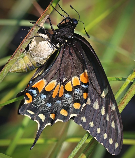 Spicebush Swallowtail_Jerry Ehlers_RPS 2019